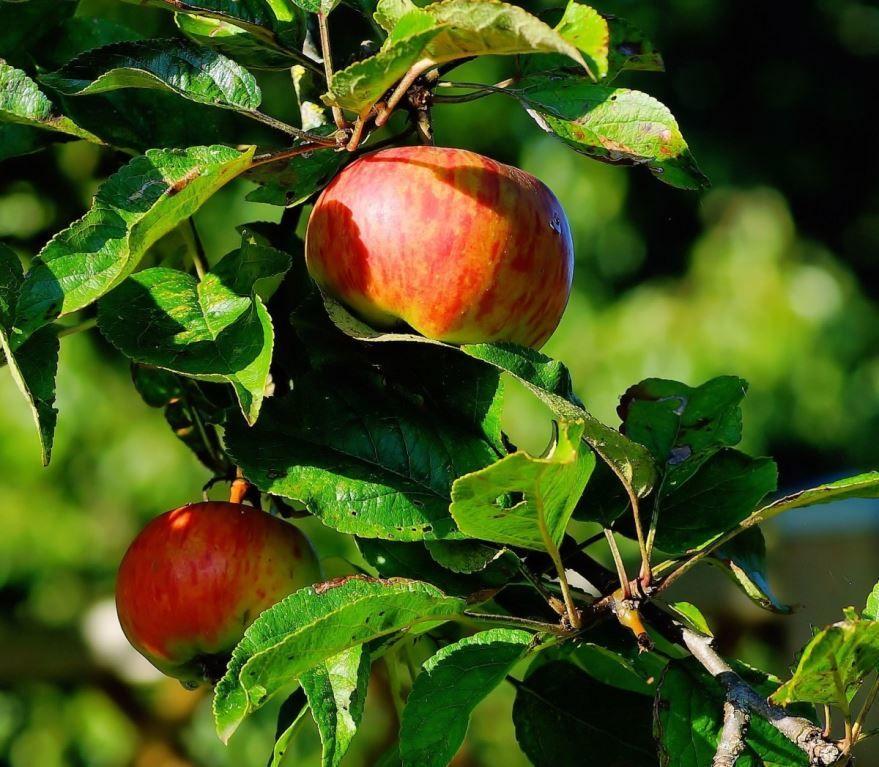 Купить фото осеннего дерева – яблони? Скачайте бесплатно у нас