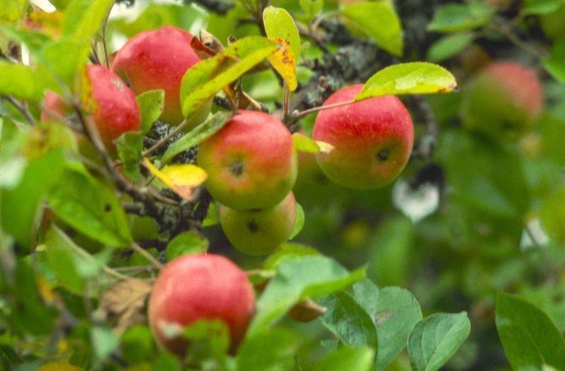 Смотреть фото весеннего дерева яблони колоновидной бесплатно