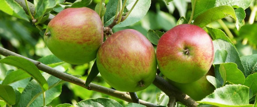Смотреть фото плодов расцветающей яблони онлайн