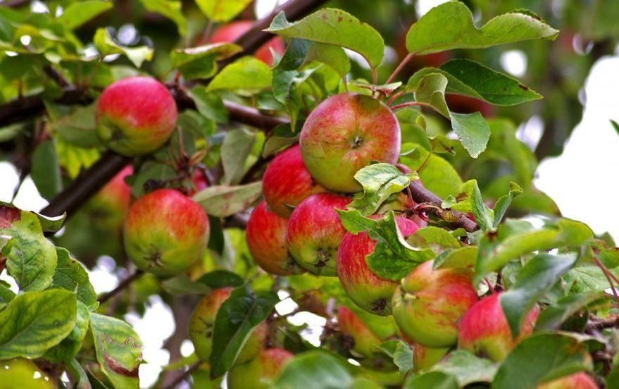 Скачать лучшие фото яблок молодой яблони