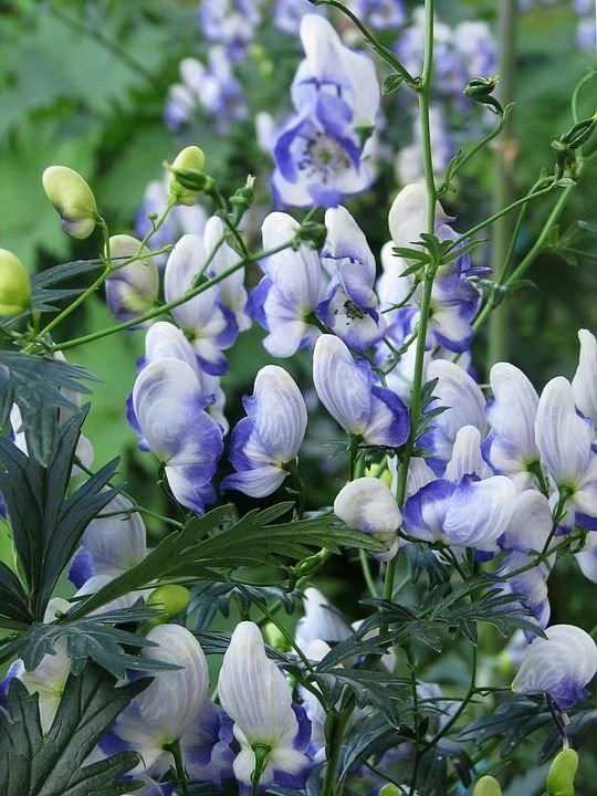 Смотреть фото цветков растения волчий аконит онлайн