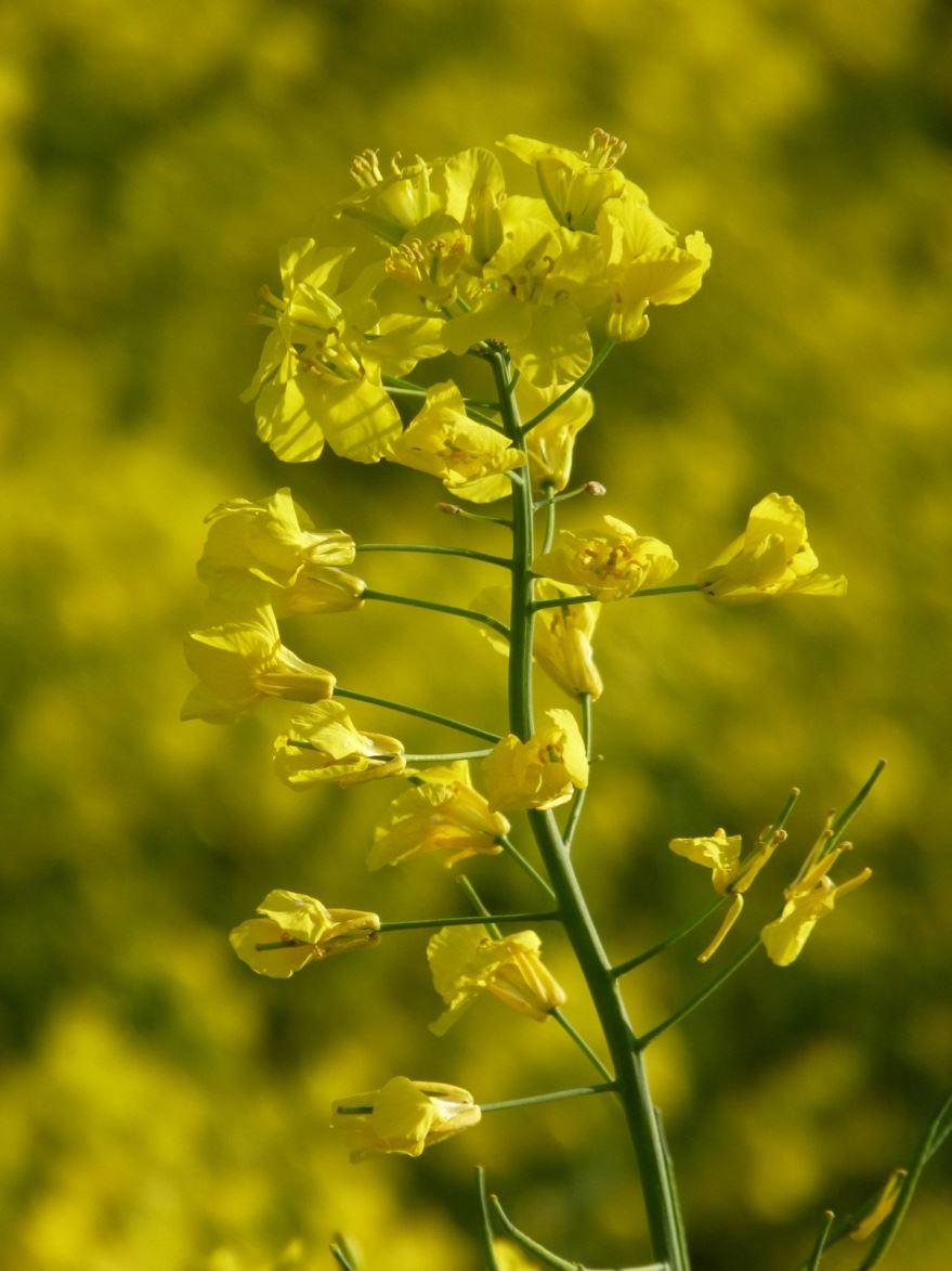 Скачать бесплатно фото растения горчица в домашних условиях