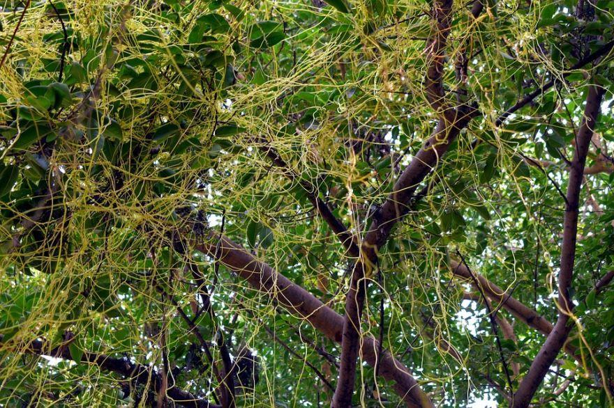 Смотреть фото растения европейской повилика клеверная бесплатно