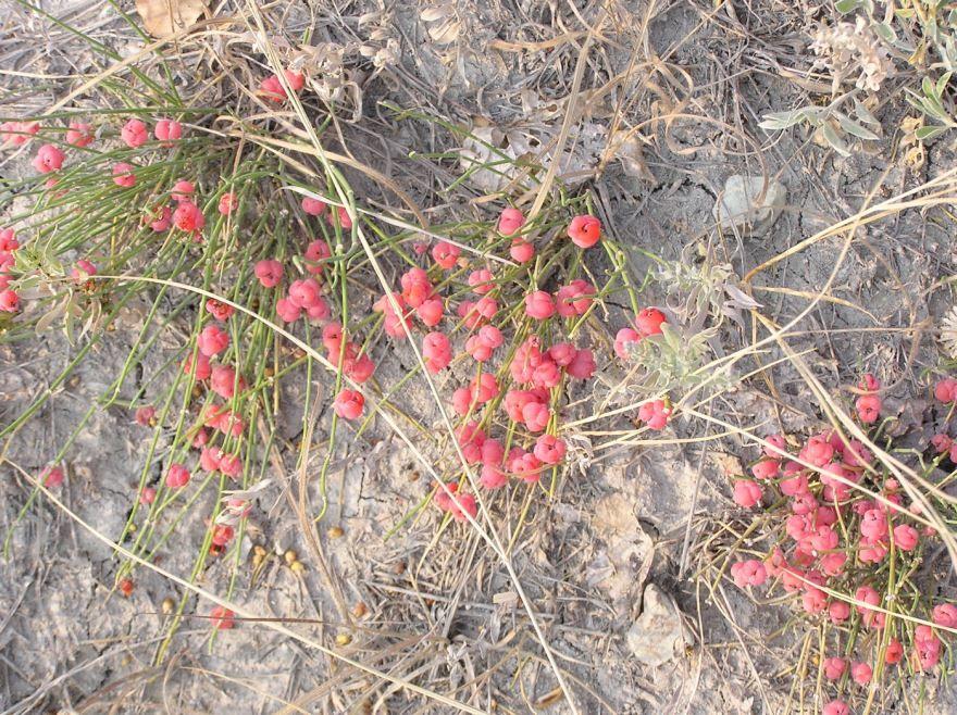 Смотреть фото зимнего растения хвойник бесплатно