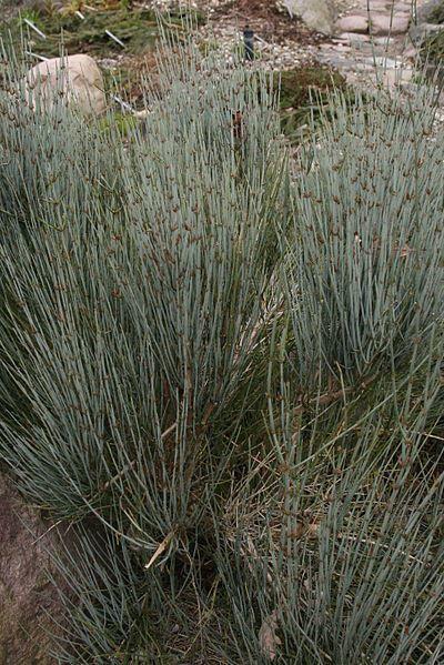 Бесплатные фото низкорослого растения хвойника онлайн