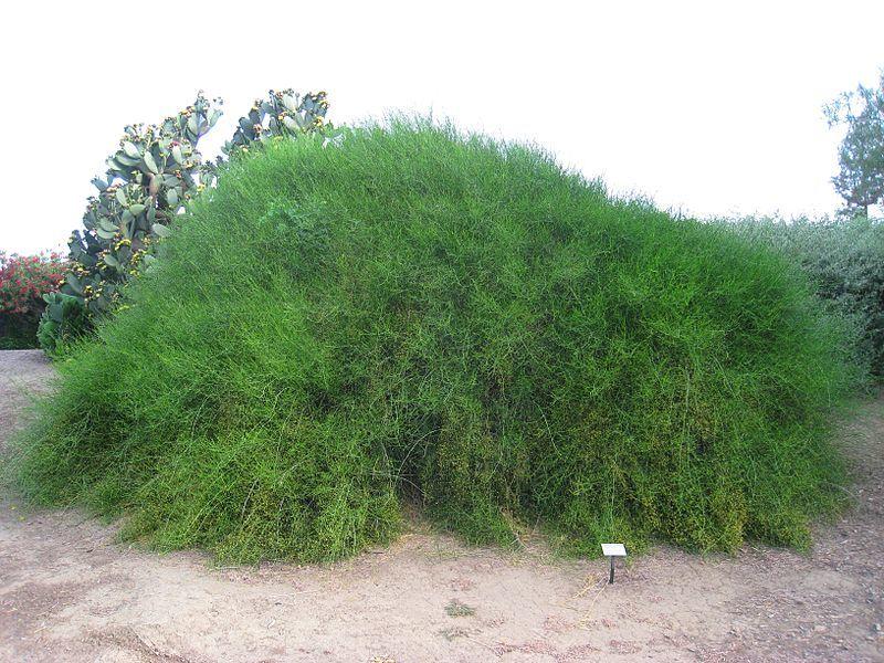 Скачать фото весеннего кустарника - хвойника, выращенного в клумбе