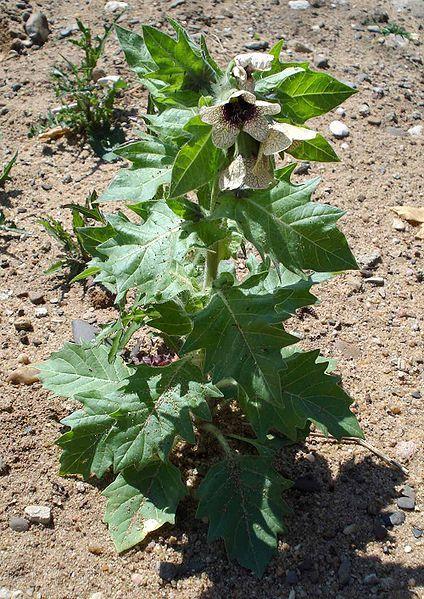 Смотреть фото растения полевого - белены бесплатно