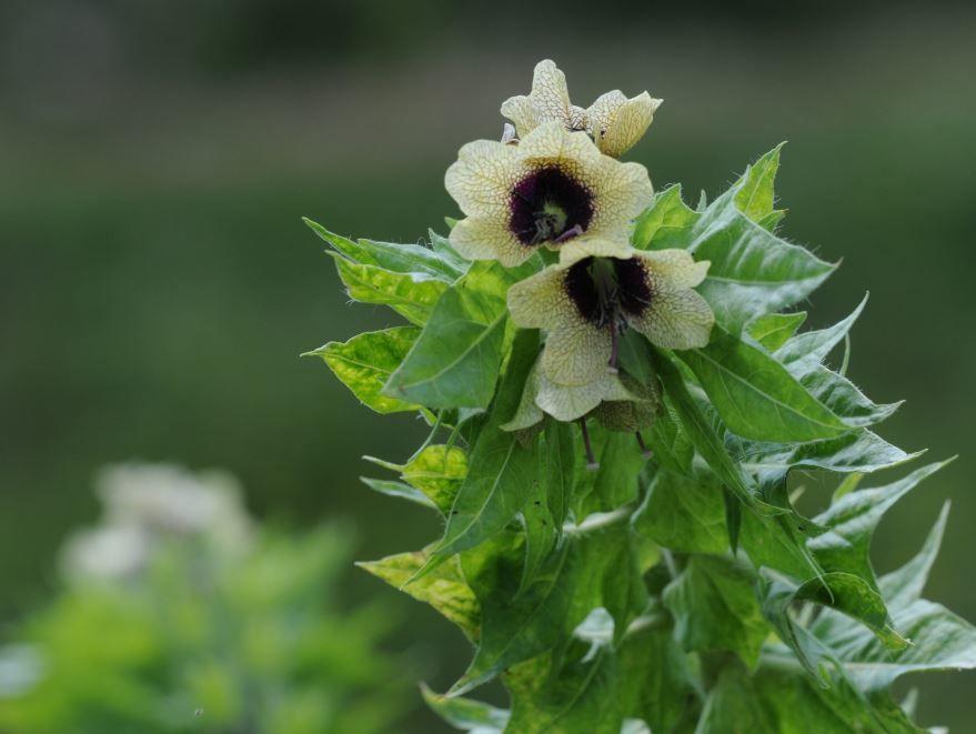 Бесплатные фото и картинки травянистого растения - белены