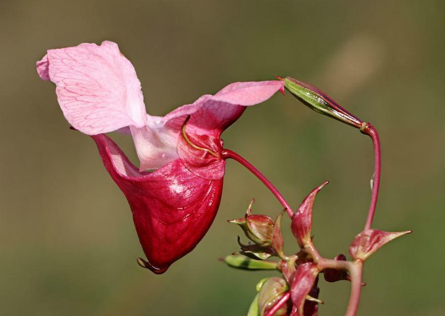 Скачать фото растения недотрога бесплатно