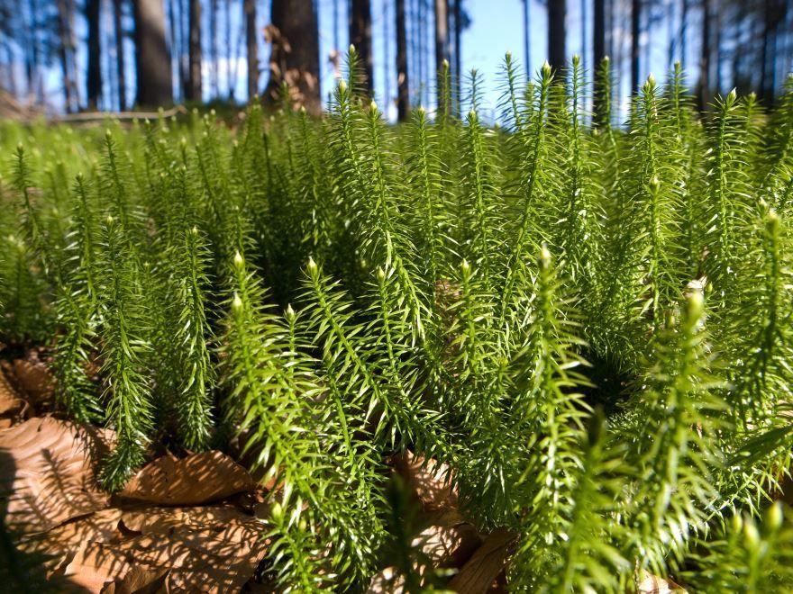 Скачать фото растения плаун, похожего на растение хвощ