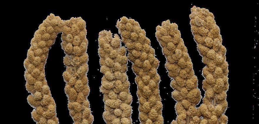 Смотреть фото растения сенегальское просо, полезного для здоровья
