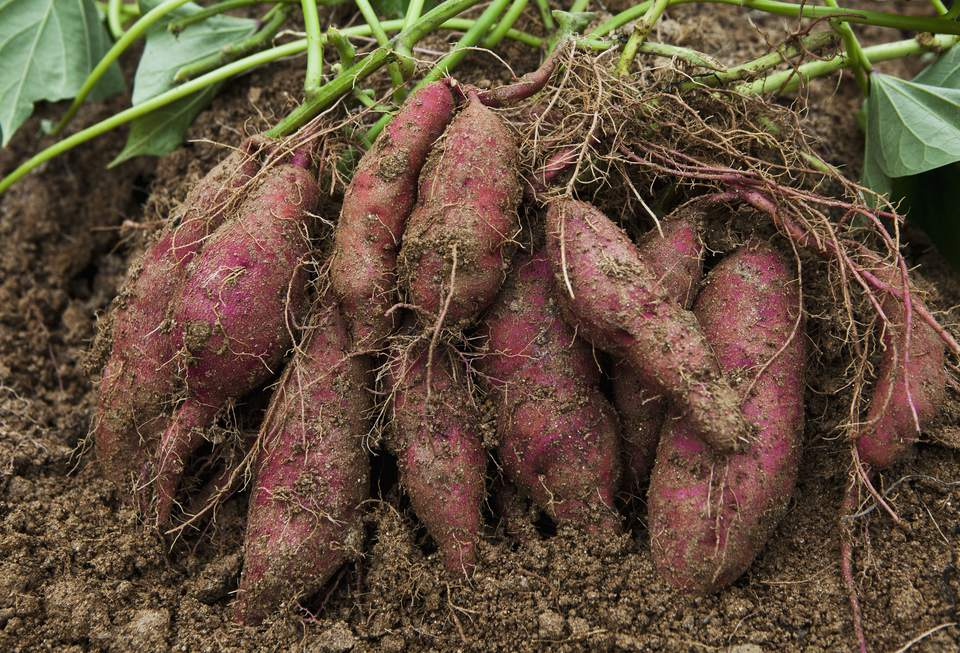 Смотреть фото сладкого картофеля – батата, обладающего пользой и вредом онлайн