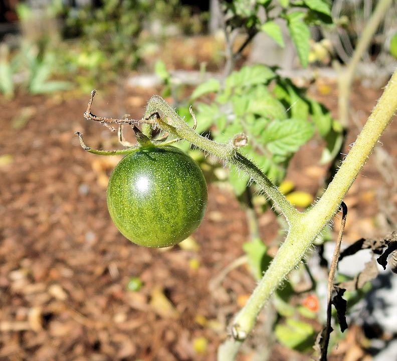 Смотреть фото зеленых помидоров, для приготовления блюд по вкусным рецептам