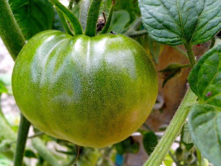 Скачать бесплатные фото зеленых помидоров, для заготовок на зиму