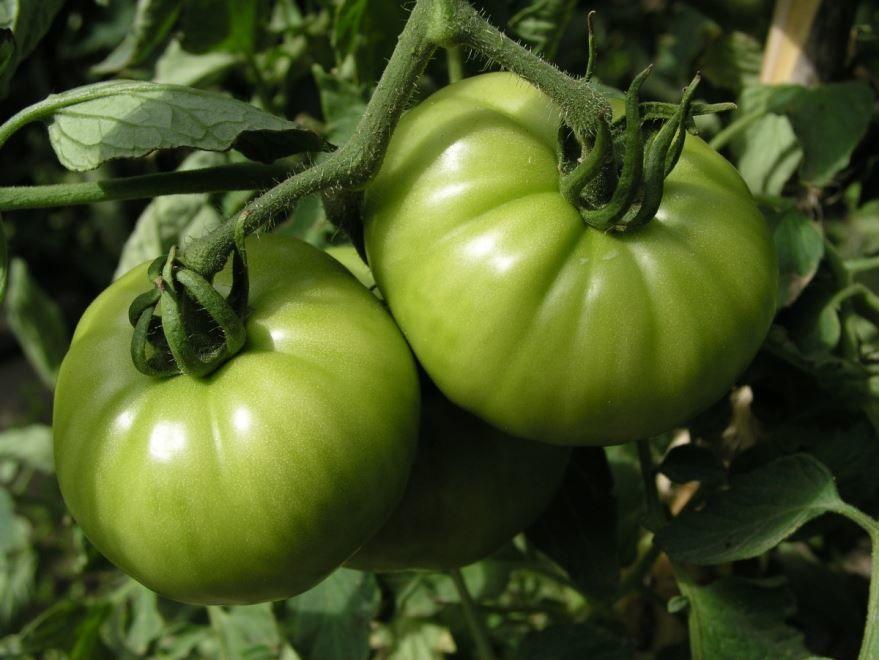 Купить фото растения – зеленых помидоров? Скачайте бесплатно