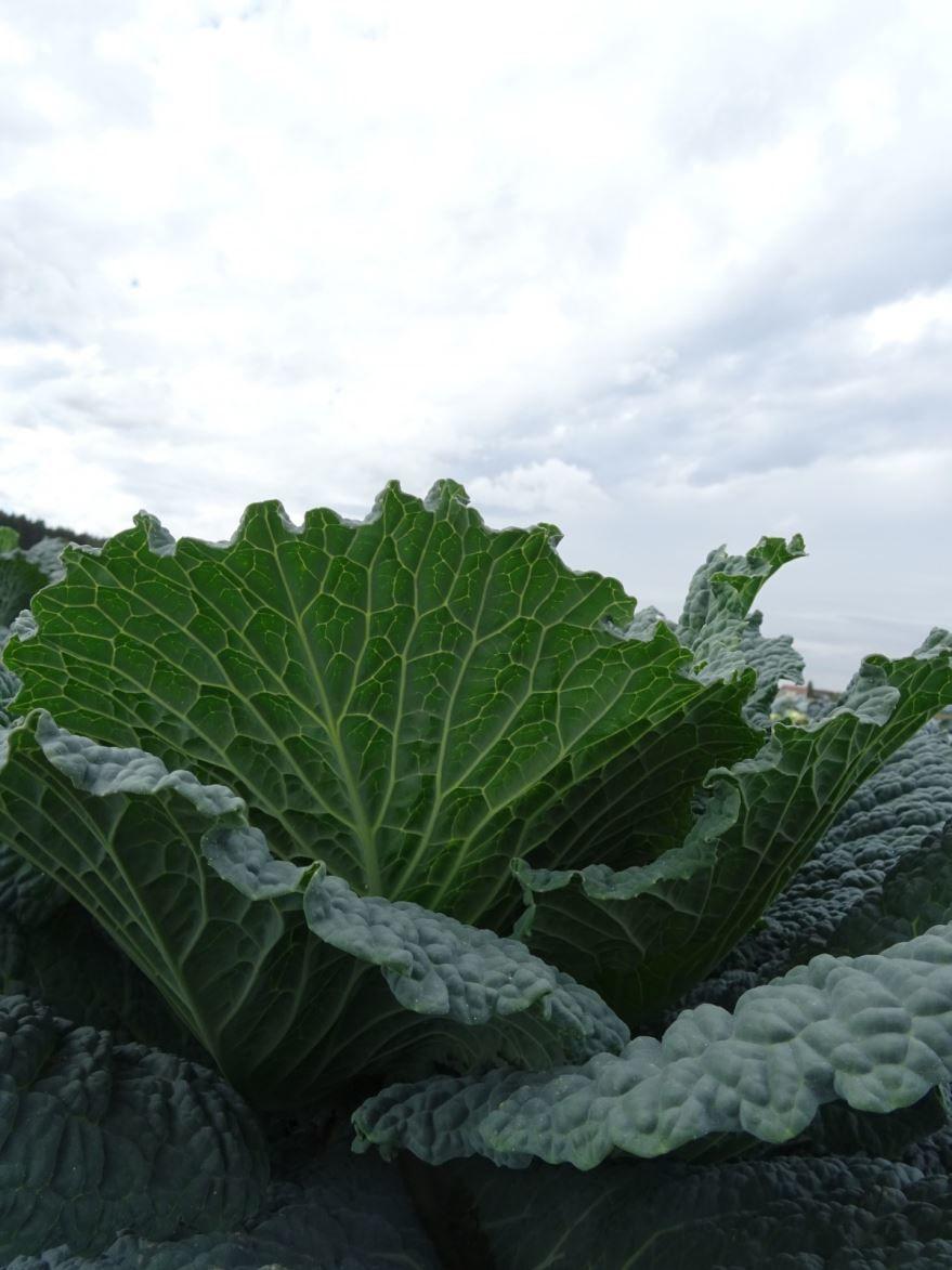 Купить фото очень вкусной капусты? Скачайте бесплатно