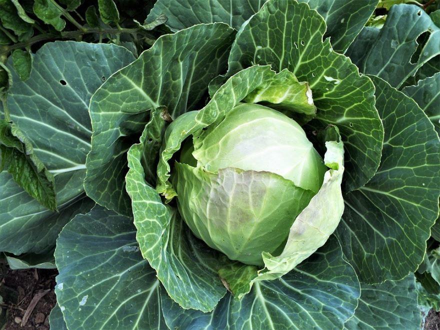 Бесплатные фото и картинки капусты для рецептов на зиму