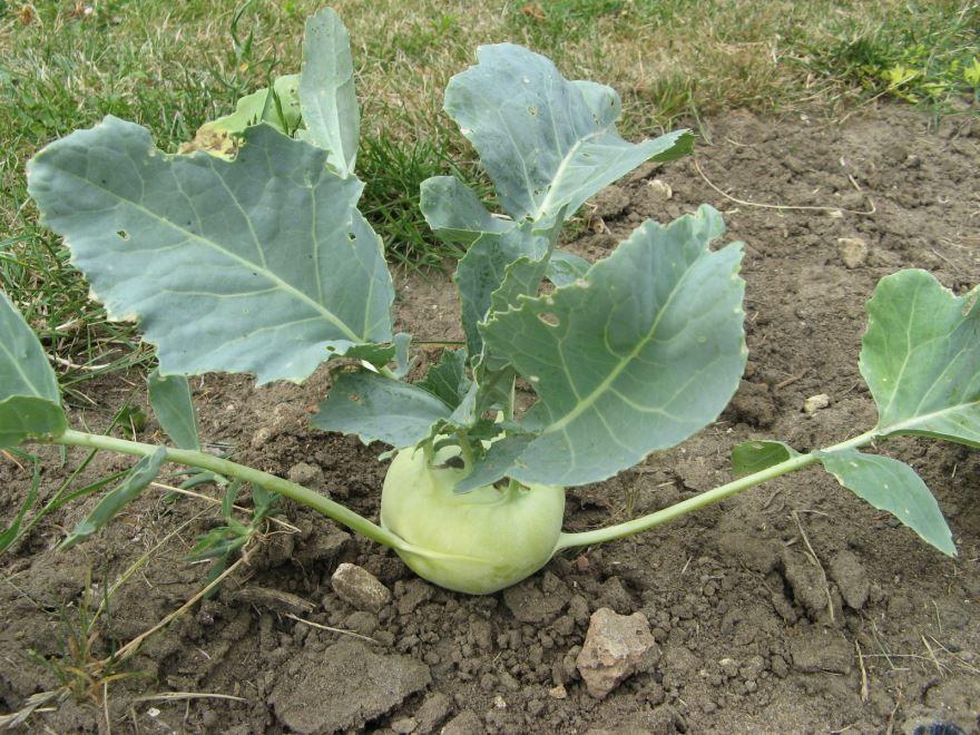 Смотреть фото капусты кольраби для вкусных рецептов