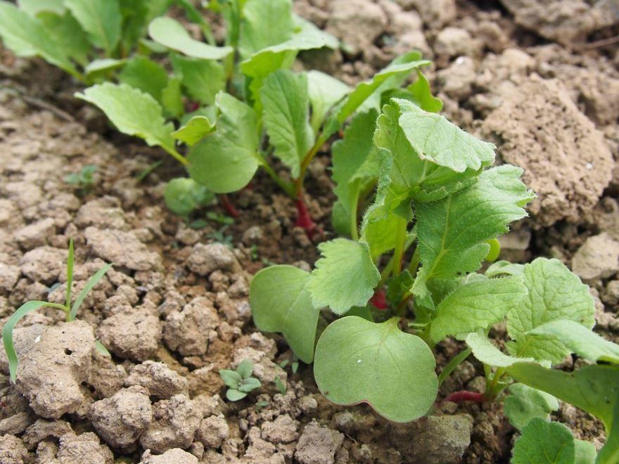Смотреть фото растения редьки для вкусных рецептов