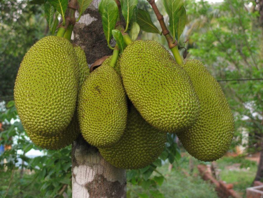 Скачать фото хлебного дерева с плодами, выращенного в домашних условиях