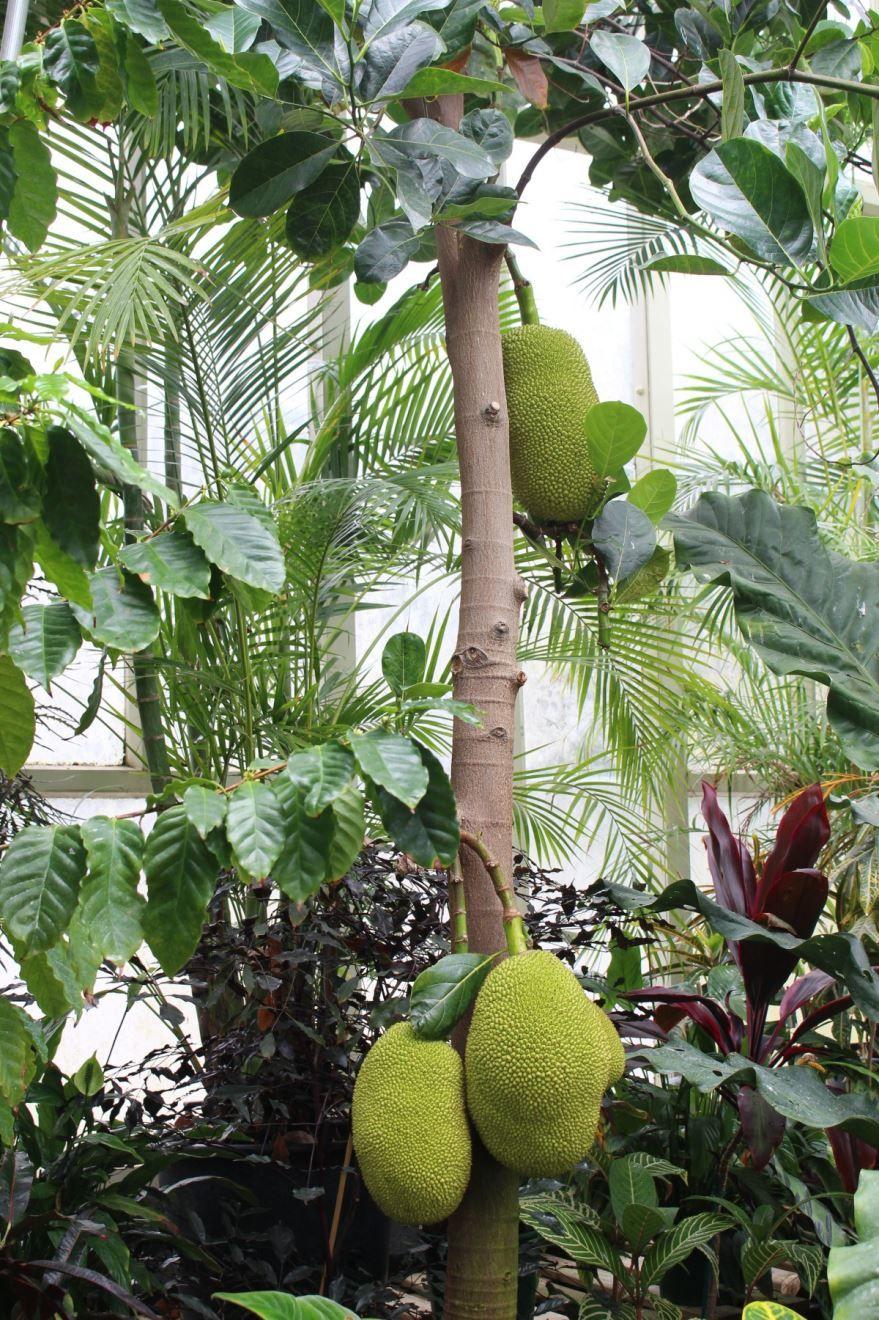 Бесплатные картинки и фото хлебного дерева, выращенного в джунглях