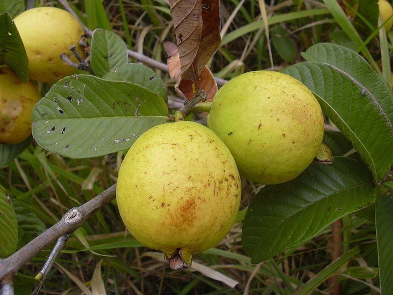 Купить фото фрукта гуайявы псидиум? Скачайте бесплатно
