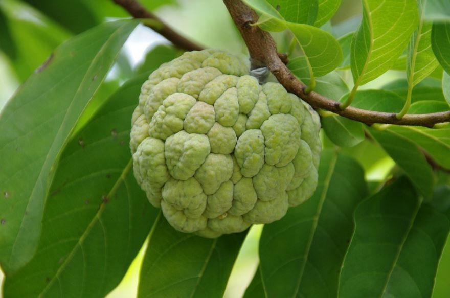 Смотреть онлайн фото растения анона в хорошем качестве