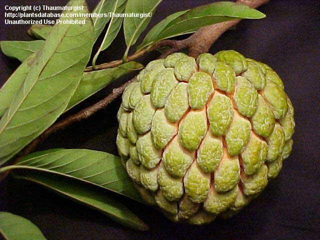 Бесплатные фото и картинки фрукта анона 2019 года онлайн