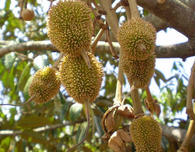 Смотреть фото плодов дерева – дуриана из Москвы, выращенного в домашних условиях