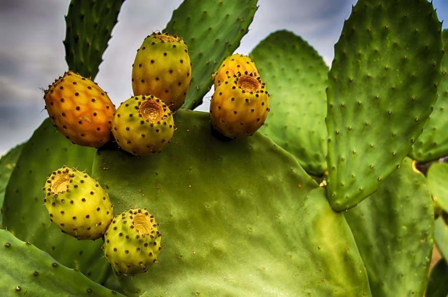 Фото и картинки плодами опунции комнатной из Мексики