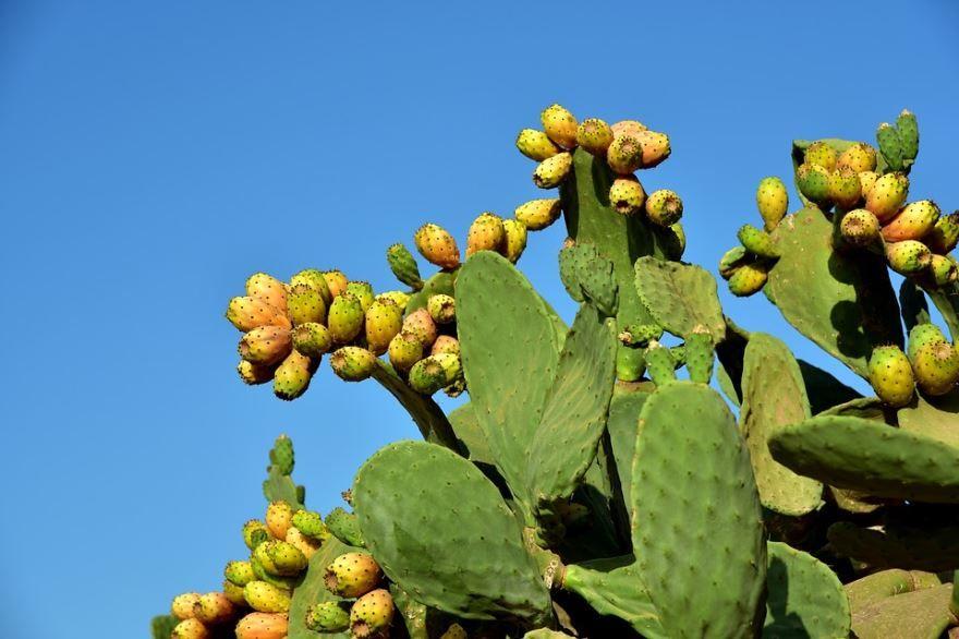 Купить фото кактуса опунция, обладающего полезными свойствами