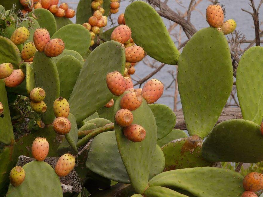 Скачать бесплатно лучшие фото растения опунция бесплатно онлайн