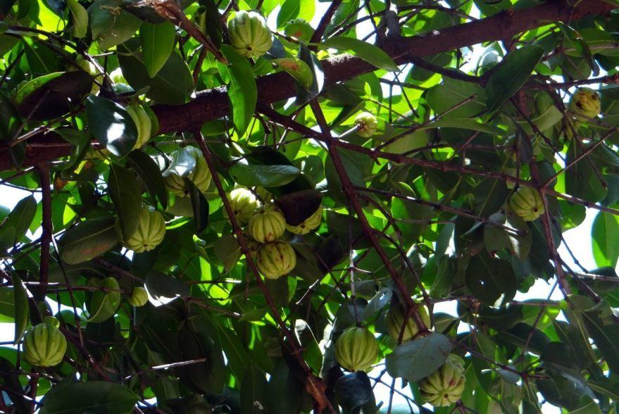 Купить фото растения индийского тамаринда? Скачайте бесплатно
