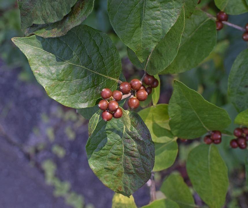 Бесплатные фото и картинки плодов домашнего кизила онлайн