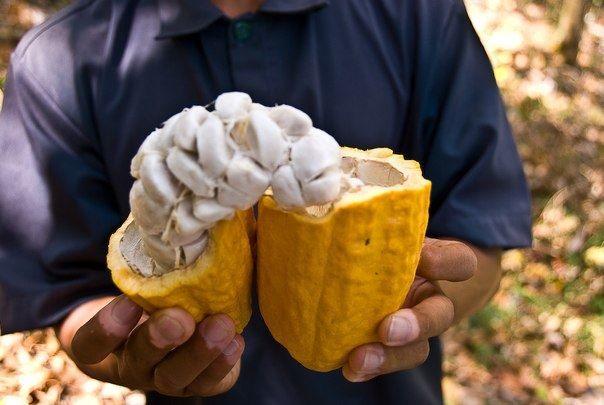 Купить фото какао, выращенного в домашних условиях? Скачать бесплатно
