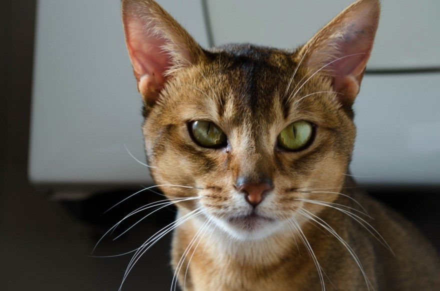 Абиссинская порода кошки коты глаза названия описания окрас характер фото картинки бесплатно скачать