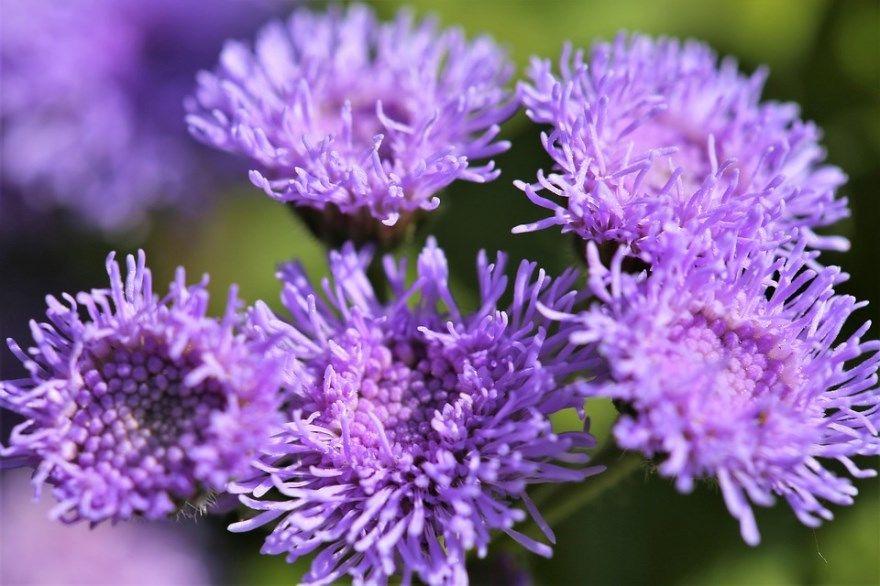 Агератум фото растение цветок посадка уход в грунт открытый посадка семена цвета выращивание мексиканский многолетник однолетник голубой рассадкой клумба норка