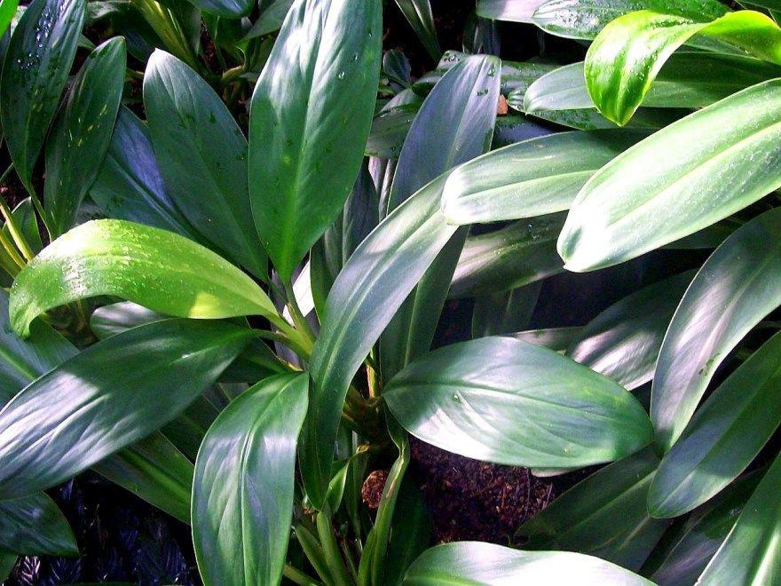 Аглаонема диффенбахия фото картинки скачать травянистое растение домашние условия смотреть бесплатно купить магазин питомник