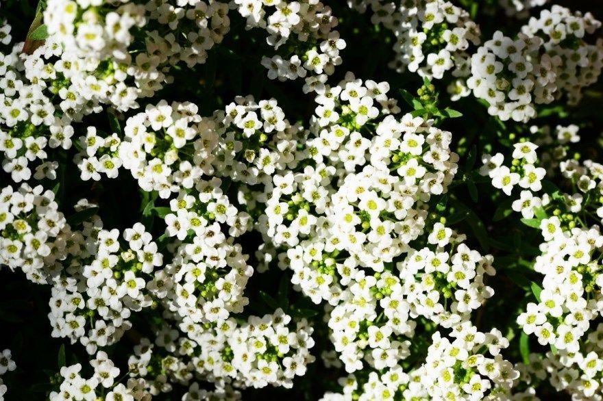 Алиссум фото растение цветок посадка уход многолетний однолетний выращенный посадка в открытый грунт семена морской купить снежный под зиму горный принцесса вегетативный