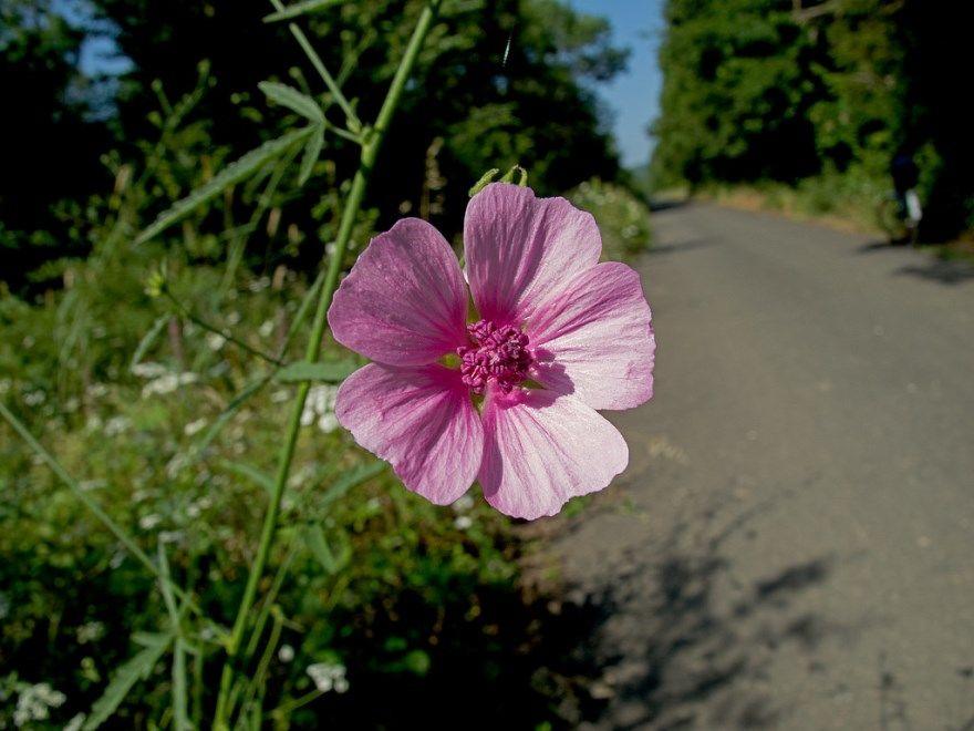 алтей фото картинки полезный при простуде кашле лекарственное средство сироп от кашля для детей растение нижний новгород