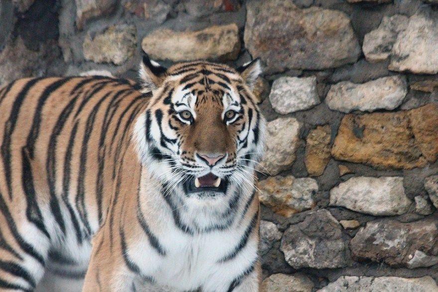 Тигр амурский белый фото картинки год онлайн бесплатно фильм игры сколько насчитывается купить