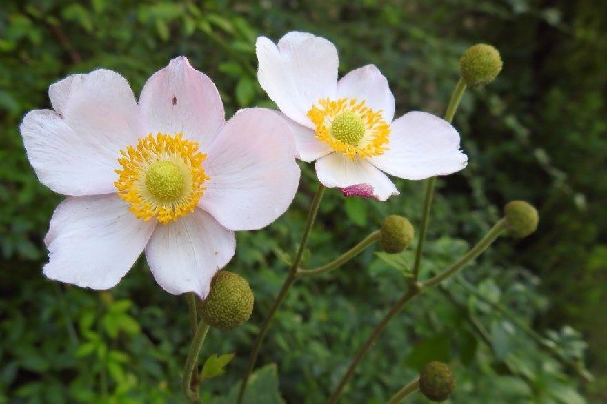 Анемона фото посадка уход открытый грунт цветы японская осенью купить растение корончатая многолетняя цветы морские клубни луковица саратовский питомник махровая