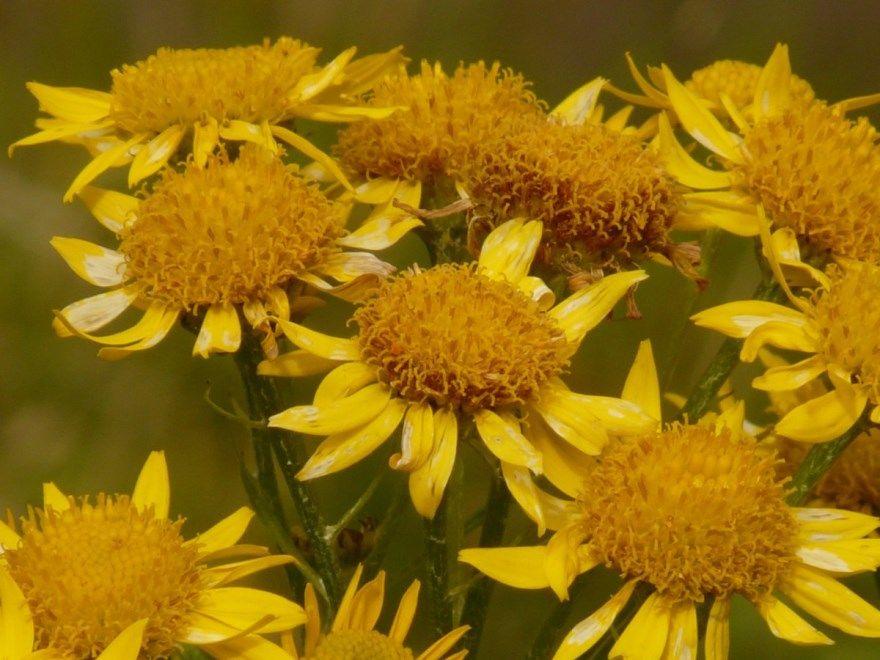 арника фото картинки лекарственное полезное гомеопатия купить магазин травянистое скачать бесплатно смотреть