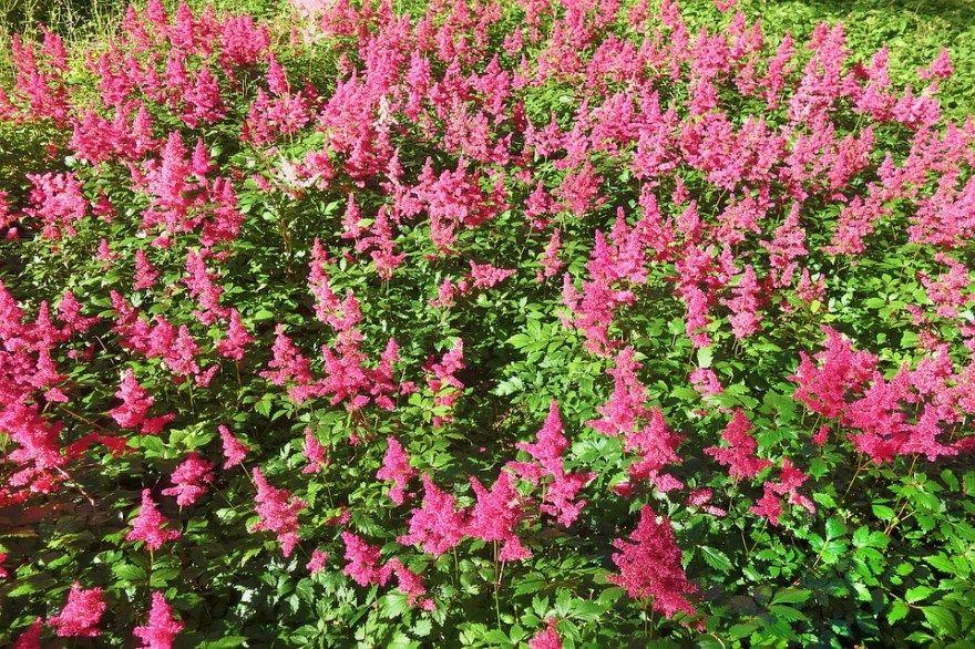 Астильба уход фото посадка осенью в открытом грунте подготовка к зиме обрезка цветок японская китайская семенами арендса