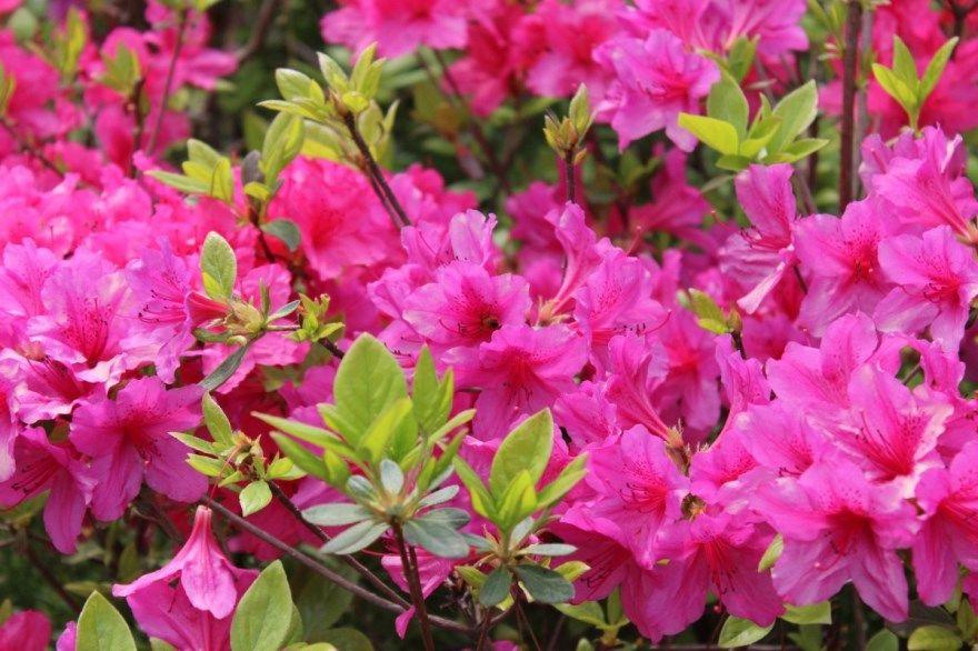Азалия цветок растение цветущее фото картинки выращенное в домашних условиях купить магазин питомник скачать бесплатно