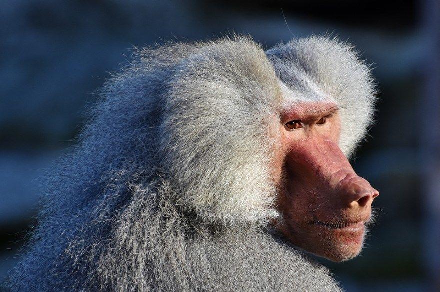 Бабуин фото картинки описание образа жизни