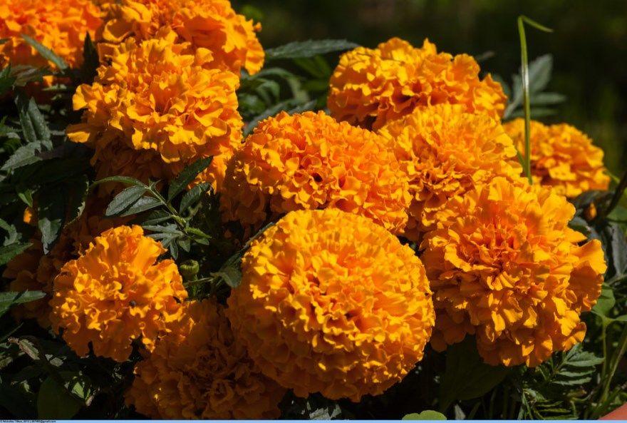 Бархатцы фото цветы свойства лечебные семена противопоказания сорта под зиму осенью отклоненные купить прямостоячие многолетние в грунт открытый отзывы уход польза применение