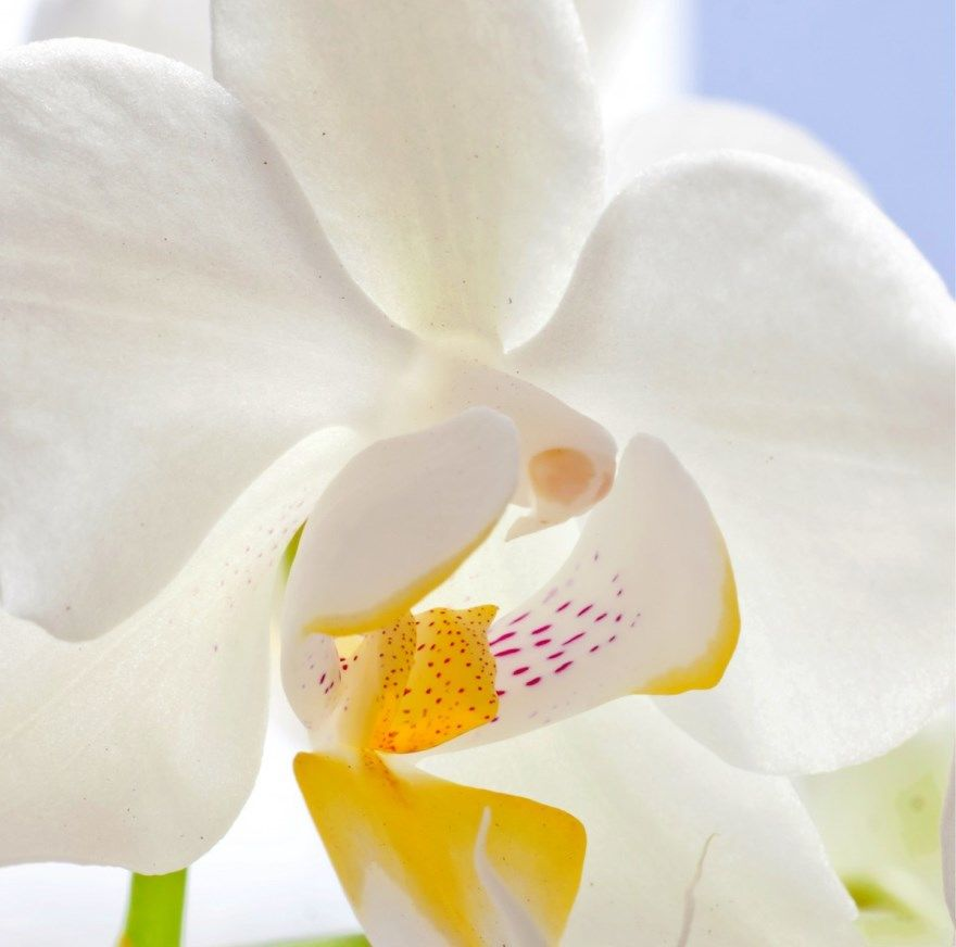 Смотреть лучшие, красивые фотографии и картинки белой орхидеи в хорошем качестве. Профессиональные снимки белой орхидеи онлайн.