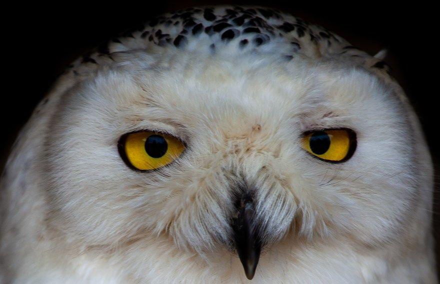 сова белая фото картинки скачать бесплатно онлайн в хорошем качестве