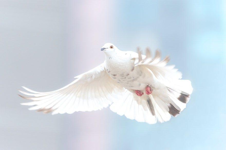 Голубь белый фото смотреть красивый лучший скачать бесплатно онлайн хорошее качество
